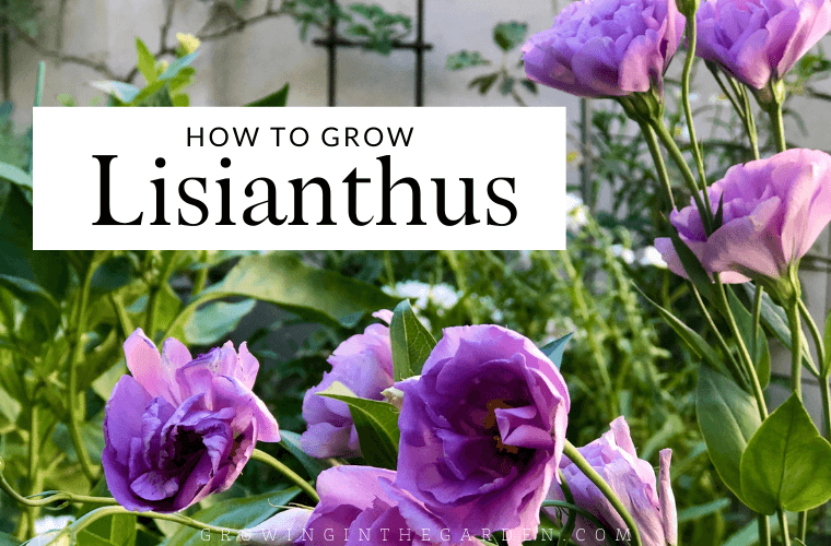 How to Grow Lisianthus: 10 Tips for Growing Lisianthus