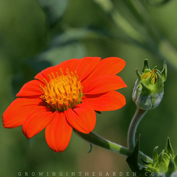 How to Grow Mexican Sunflowers: 5 Tips for Growing Tithonia