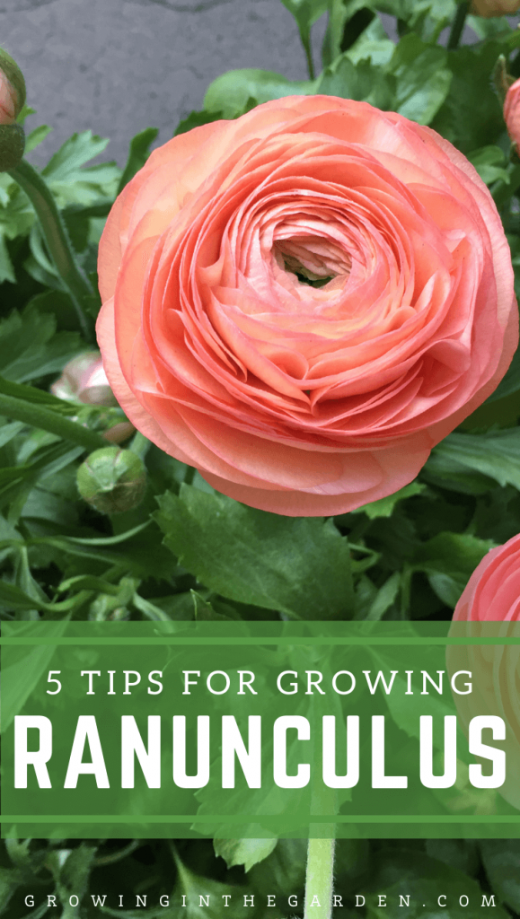 How to Grow Ranunculus: 5 Tips for Growing Ranunculus
