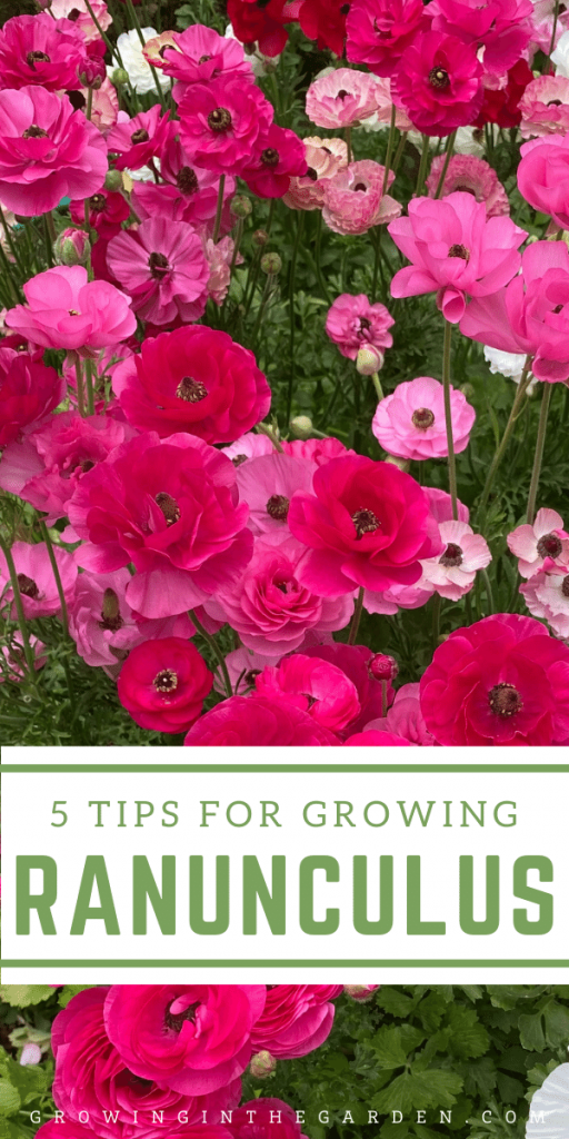How to Grow Ranunculus_ 5 Tips for Growing Ranunculus