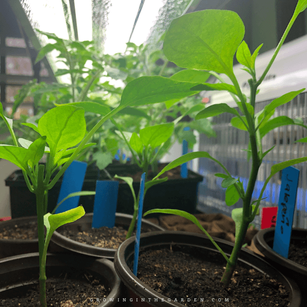 How to Start Seeds Indoors: 10 Steps for Success