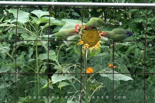 Love birds eating sunflower in garden