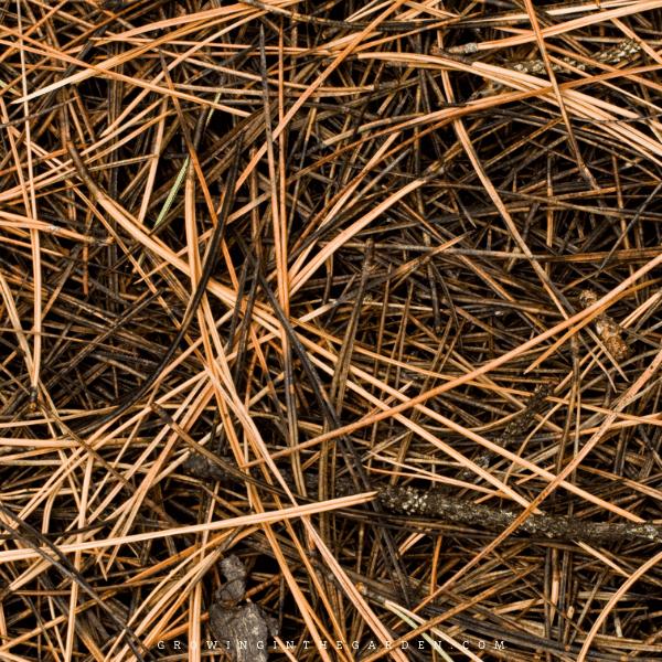 pine needles as mulch