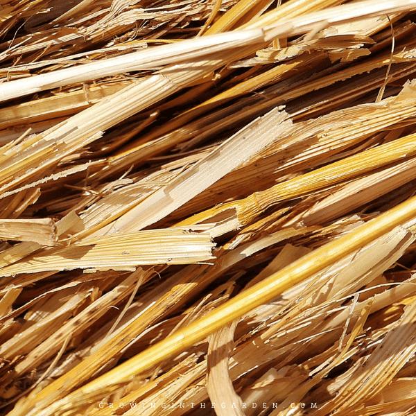 straw as mulch