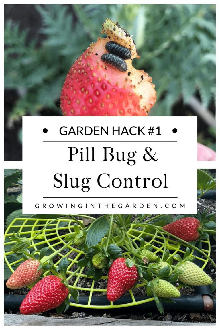 What to do about pill bugs and slugs in the strawberry patch