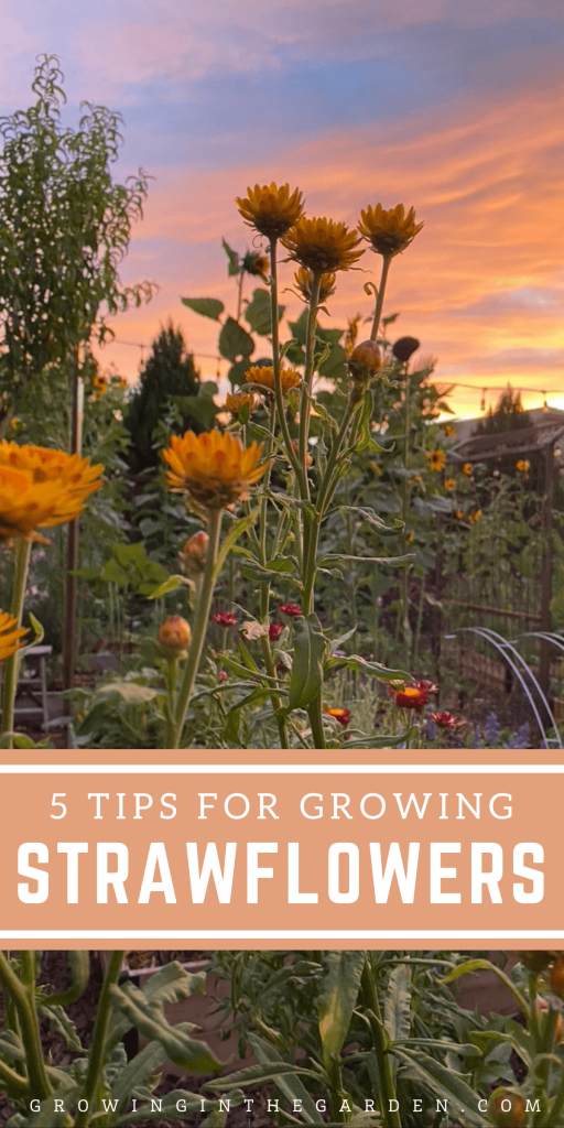 How to Grow Strawflowers: 5 Tips for Growing Strawflowers