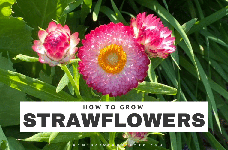 How to Grow Strawflowers 5 Tips for Growing Strawflowers