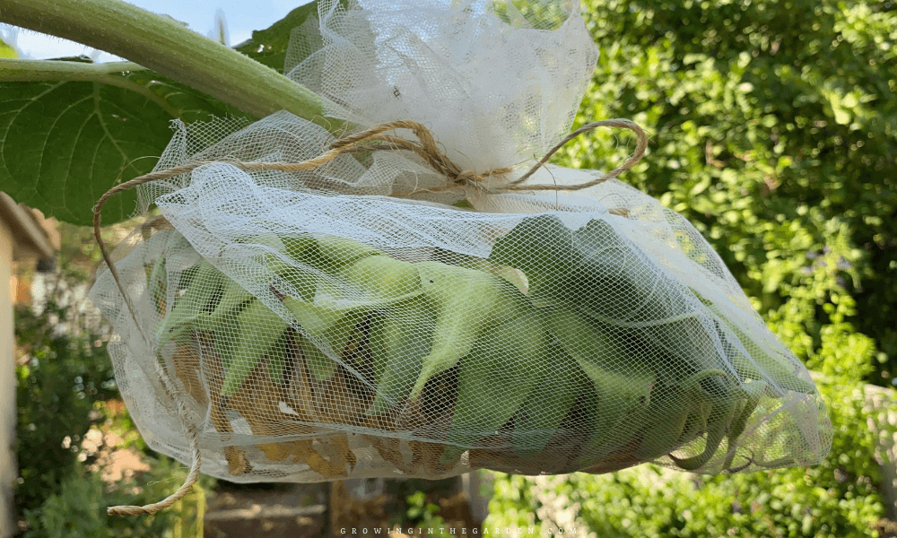 cover sunflower head with netting to protect from birds