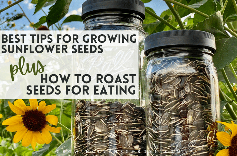 Sunflowers are simple to grow and a delicious snack too. Keep reading to learn how to grow edible sunflowers, when to harvest sunflowers for the plumpest kernels, and how to roast edible sunflowers.