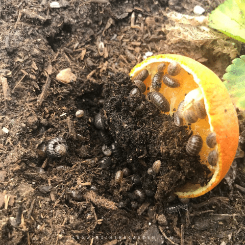 5 Best Ways to Keep Pill Bugs from Destroying Your Garden