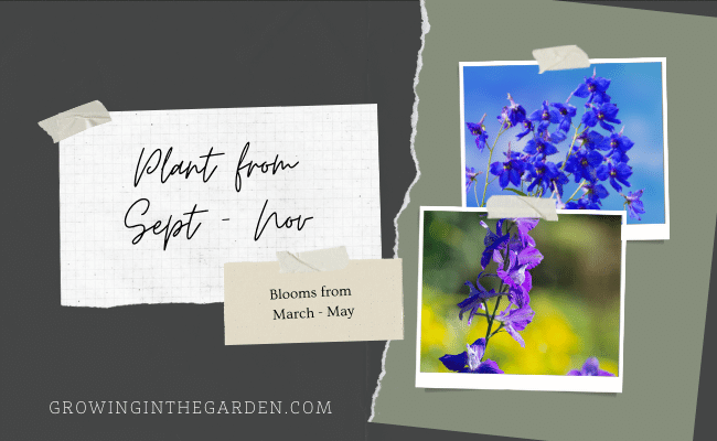 When to plant larkspur