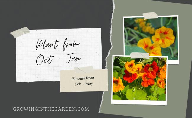 When to plant nasturtiums
