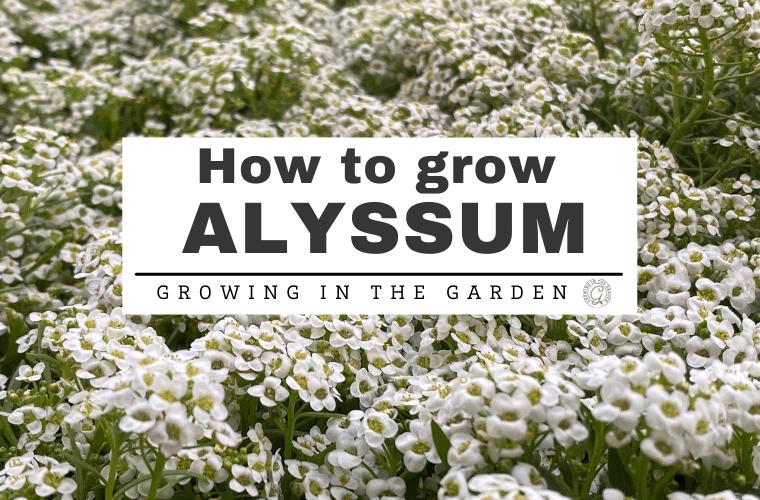 How to Grow Alyssum: 5 Tips for Growing Alyssum