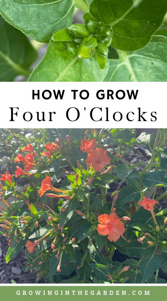 How to Grow Four O'Clocks 5 Tips for Growing Four O'Clocks