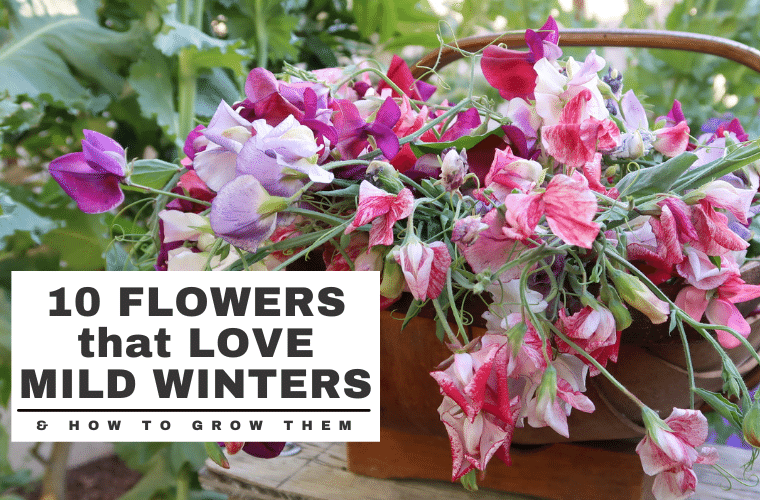 Cool-Season Flowers That Love Mild Winters