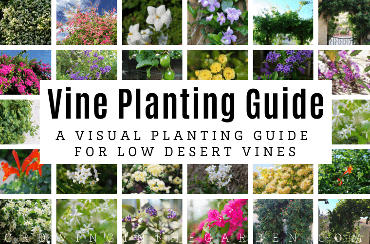 Arizona Vine Planting Guide A Visual Guide to Planting and Growing Low Desert Vines