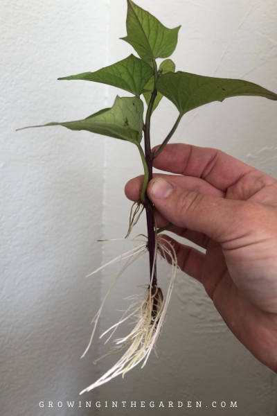how to propagate sweet potato vine