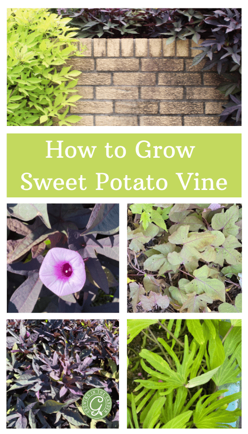 How to Grow Sweet Potato Vine